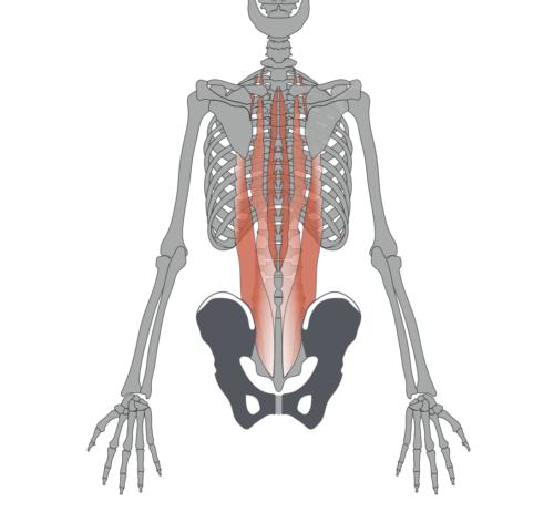 ベンチプレスで腰痛になる原因は「腰を反りすぎている」から 脊柱起立筋