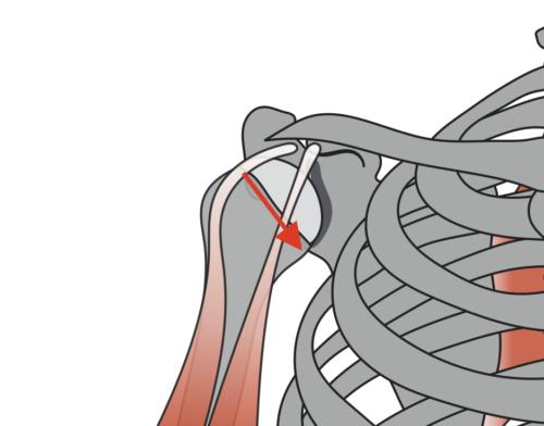 リバースグリップベンチプレスの効果①回旋筋腱板に対する負担が減少